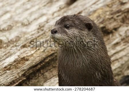 Otter closeup - stock photo