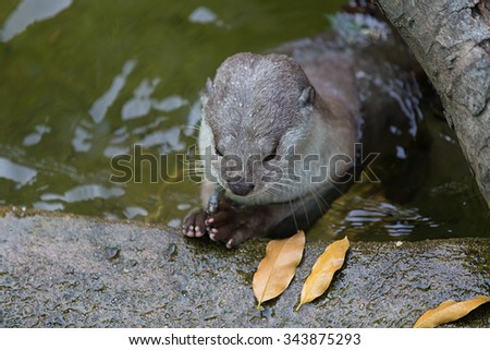 Otter eating the fish in the pool - stock photo