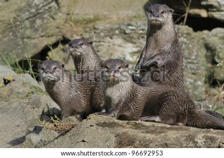 otter group - stock photo
