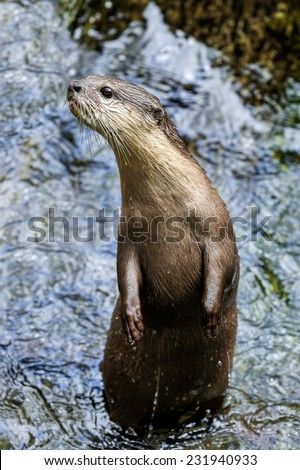 Otter in water. - stock photo