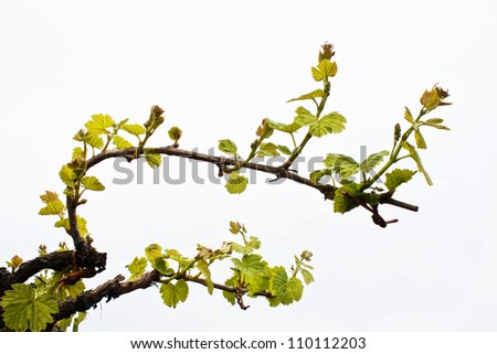 Outbreaks of the vine - stock photo