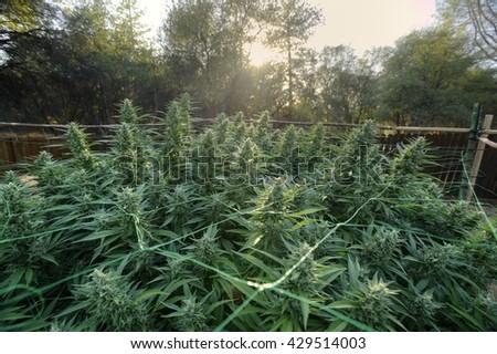 Outdoor Cannabis Canopy  - stock photo
