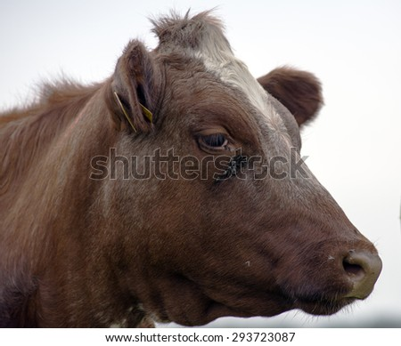 Outdoor cow eye and a lot of flies. - stock photo