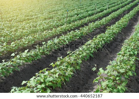 Outdoor photo of soybean plants in a field,soybean field with rows of soya bean plants, selective focus, light effect on the left side of picture  - stock photo