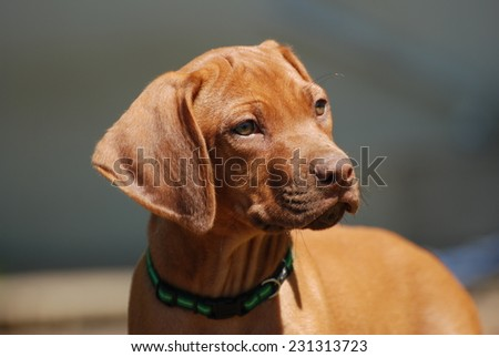 Outdoor portrait of a cute little attentive rare liver nosed Rhodesian Ridgeback hound dog puppy staring in front of blurry wall background. - stock photo