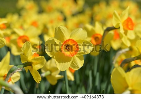 Outdoor shot of yellow daffodils in a nicely full flowerbed in spring - stock photo