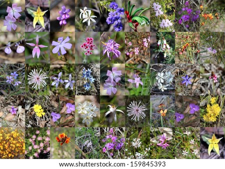 Outstanding collage design of  west Australian rare wildflowers  such as Donkey Orchids, chorizemas, pixie mops, kangaroo paws and hovea growing in Manea Park Bunbury western Australia in spring. - stock photo
