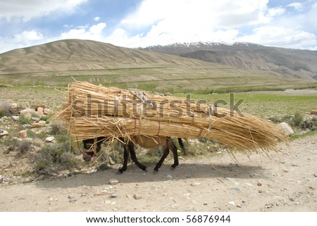 over burdened donkey carrying a heavy load of straw - stock photo