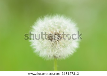 Overblown dandelion on green background - stock photo