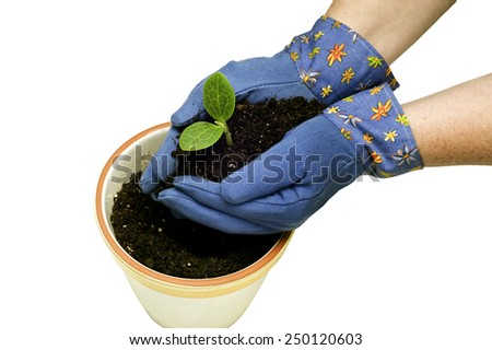 Overhead View Gloved Hands Planting Young Plant/ Springtime Planting - stock photo