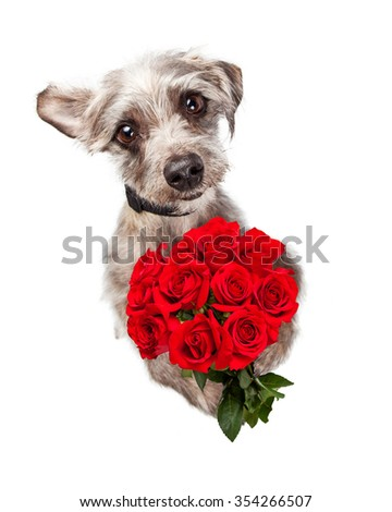 Overhead view of an adorable little dog standing and holding a bouquet of red roses while looking up with sad eyes. Can express love or an apology. - stock photo