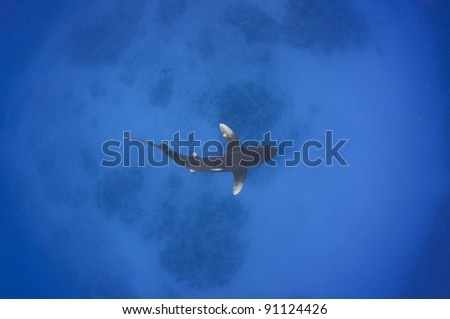 overhead view of an Oceanic White tip shark swimming in shallow water - stock photo