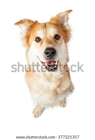 Overhead view of cute and happy young Golden Retriever mixed breed dog sitting and looking up. Isolated on white. - stock photo