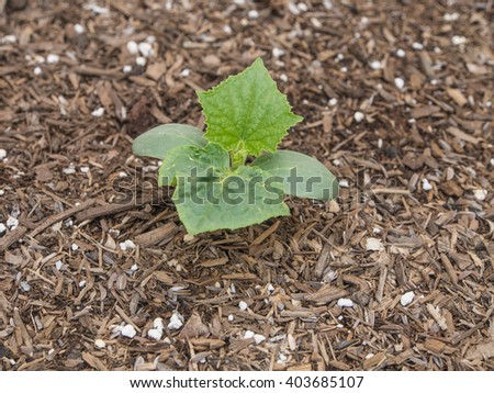 Overhead view of single seedling and new growth of Persian baby cucumber plant on micro farm in a raised bed of mulch. - stock photo
