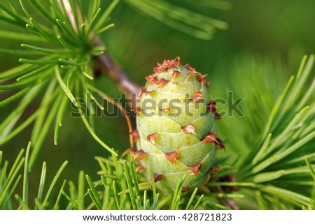 Ovulate cone of larch tree in spring, end of May. - stock photo