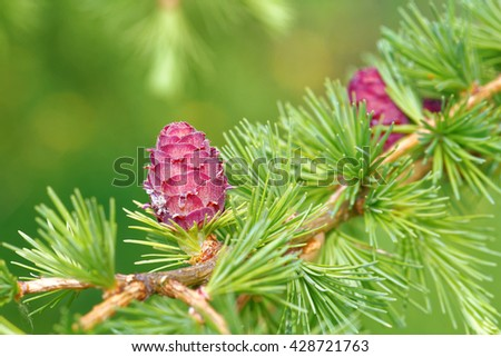 Ovulate cones of larch tree in spring, end of May. - stock photo