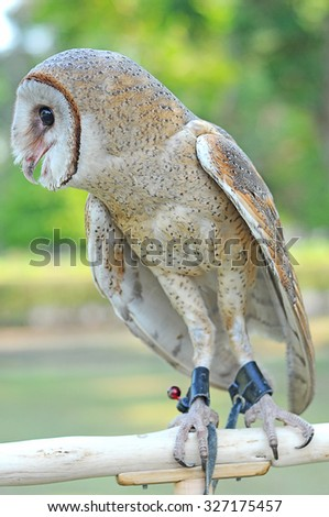 owl active at night and during the day to sleep - stock photo