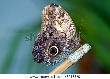 Owl butterfly - stock photo