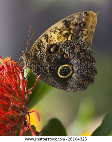 Owl Butterfly, Brassolidae, on bright red flower with wings folded - stock photo