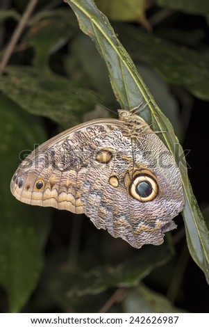 Owl Butterfly (Caligo memnon), Tortuguero, Costa Rica. - stock photo