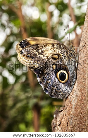 Owl Butterfly resting on the trunk of a tree. - stock photo