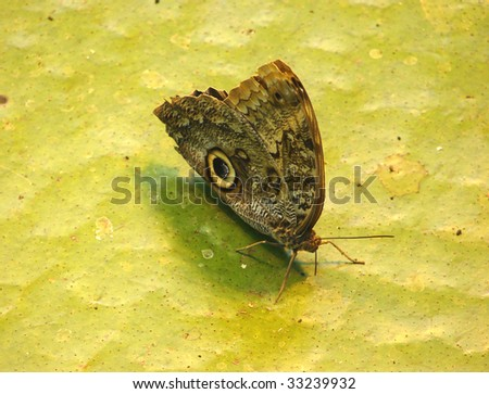 owl butterfly sitting on leaf - stock photo
