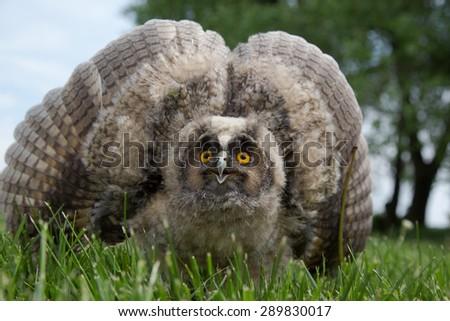 Owl defends - stock photo