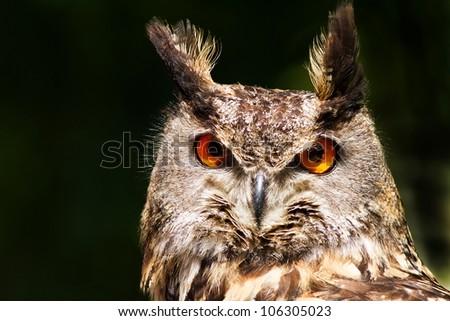 owl eagle portrait - stock photo