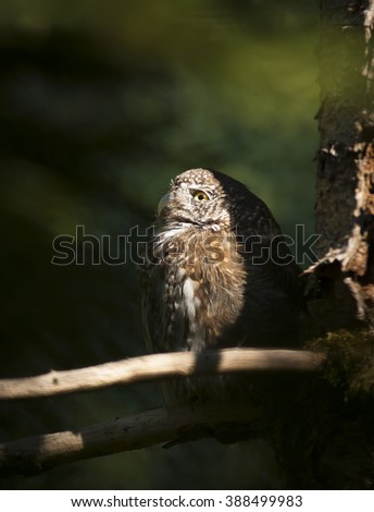 Owl illuminated by the sun is sitting on the branch and watching into the wood. - stock photo