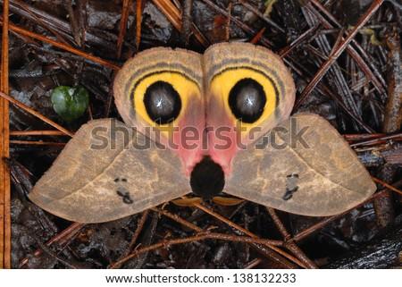 Owl Moth (Automeris belti) imitating a possum in Costa Rica rainforest - stock photo