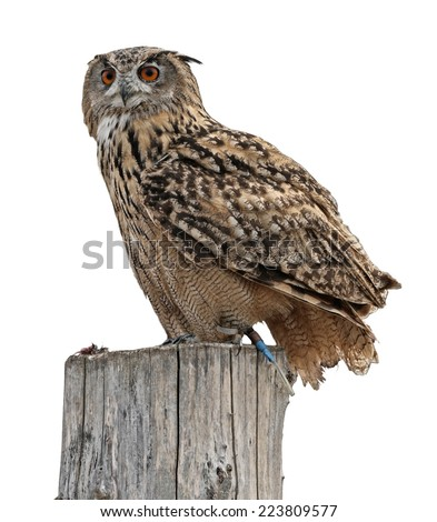 Owl on white background  - stock photo