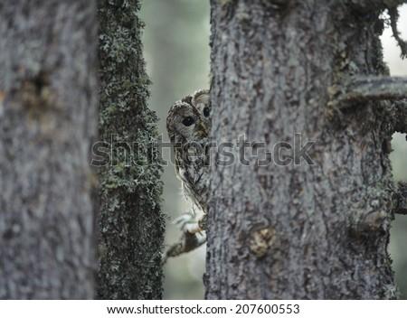 Owl Peeking from Behind Tree - stock photo