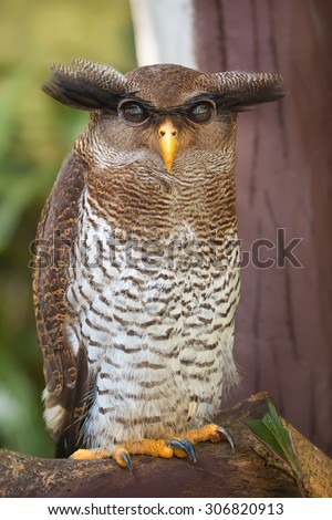Owl portrait, close up of yellow eyes  - stock photo