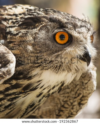 Owl portrait front in defensive position - stock photo