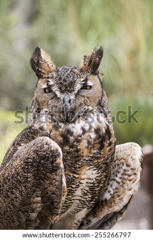 Owl portrait with yellow eyes in nature - stock photo