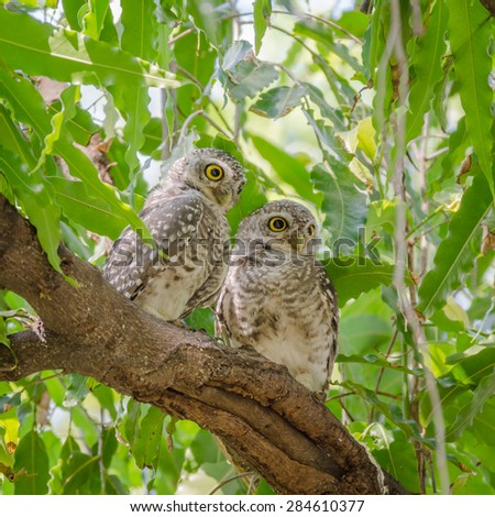 Owl (Spotted owlet) in nature on tree - stock photo