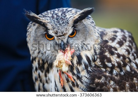 Owl with prey in its beak close up - stock photo