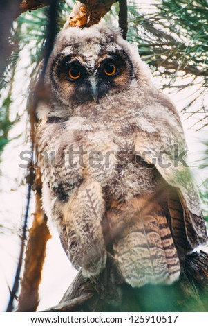 Owlet of long eared owl. Young long eared owl (Asio otus) sitting on a branch of pine tree. Owlet has big eyes and it serious. Close-up. - stock photo