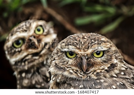 Owls looking at the camera - stock photo