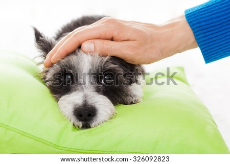 owner  petting his  sick ill  dog  suffering pain and fever - stock photo