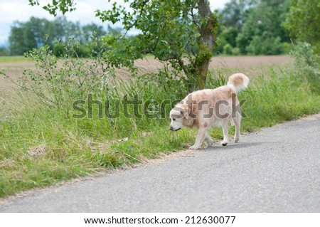 ownerless golden retriever dog prowling around on the street - stock photo