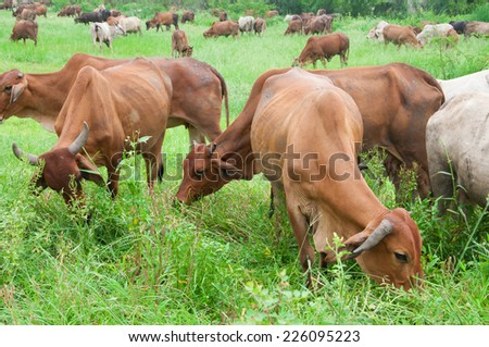 ox - stock photo
