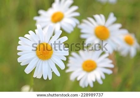 ox eye daisies - stock photo