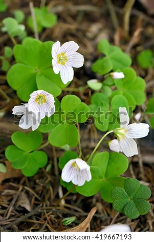 Oxalis acetosella (wood sorrel) flowers in forest, selective focus - stock photo