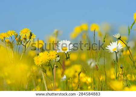 Oxeye daisy, Leucanthemum vulgare, and Smooth Hawk's beard, crepis capillaris, with diffused background of spring buttercups, clover and meadow grass, The Cotswolds, Gloucestershire, United Kingdom - stock photo