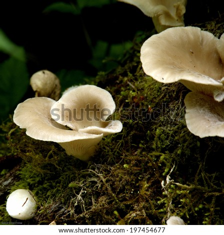 Oyster Mushrooms growing on a fallen tree trunk in the old growth forest on a Pacific Island off the coast of BC, Canada - stock photo