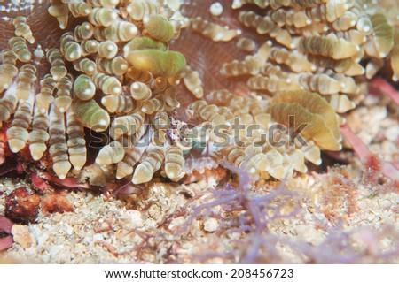 Pacific clown anemone shrimp with anemone - stock photo