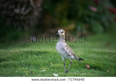 "Pacific Golden Plover ""Pluvialis fulva"" - stock photo"
