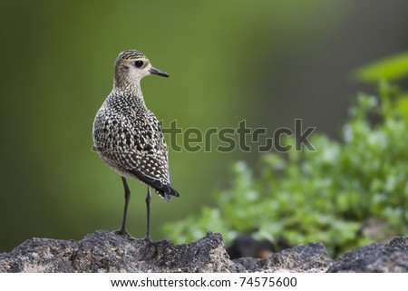 Pacific Golden-Plover (Pluvialis fulva), juvenile. - stock photo