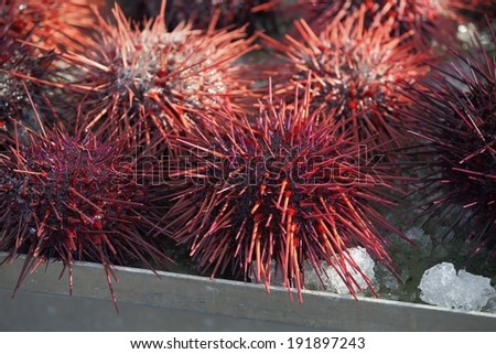 Pacific Northwest Sea Urchins. Live sea urchins for sale at a fish market in the Pacific Northwest.  - stock photo